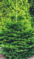 momi fir japanese abies
