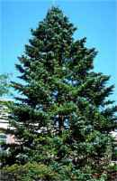 himalayan fir abies