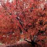 flame maple acer ginnala seeds seedling tree