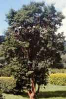paperback maple acer griseum seeds seedling tree