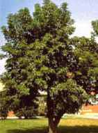 manitoba maple box elder acer negundo seeds seedling tree