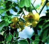 caesalpinia gillesii yellow bird of paradise seed tree