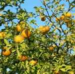 citrus trifoliata trifoliate orange tree seed