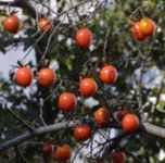 diospyros rhombifolia diamond leaf persimmon tree seed