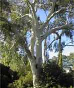 eucalyptus citriodora lemon gum tree seed