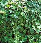 hedera helix english ivy seed plant