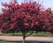 radiant crabapple tree fruit seed seedling