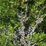 myrica pennsylvanica bayberry shrub seed