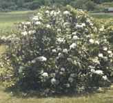 rhododendron maximum seed plant