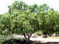 schinus molle california pepper tree seed