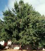 taxus baccata english yew seed plant